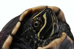 geïsoleerde schildpad