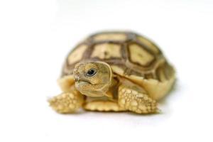 Afrikaanse aangespoorde schildpad of geochelone sulcata op witte CHTERGRO foto