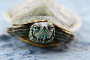 schildpad huisdier foto