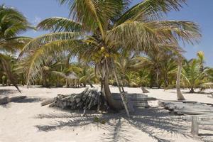 kokospalm boom in schildpad reserve foto