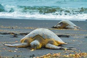 groene zeeschildpadden foto