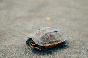 schildpad foto