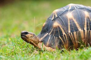 de uitgestraalde schildpad