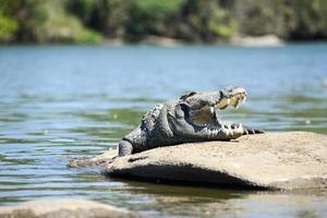 overvaller krokodil foto