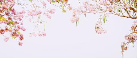 tabebuia heterophylla (dc) briton. (roze trompetboom) foto