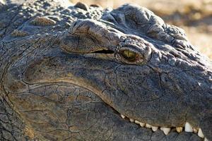 krokodil oog close-up foto