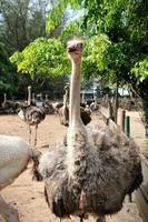 struisvogelboerderij foto