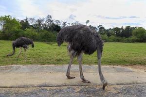 Afrikaanse struisvogel grazen foto