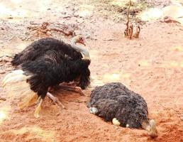 struisvogeleieren zitten in de natuur. foto