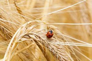 lieveheersbeestje foto