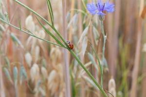 lieveheersbeestje op een hulm