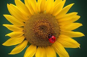 zonnebloem en lieveheersbeestje