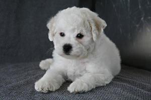puppy bishon frise foto