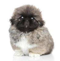 pekinees puppyportret foto
