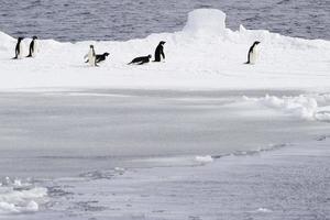 adelie pinguïns en ijs. foto