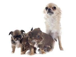puppy's en volwassen chihuahua foto