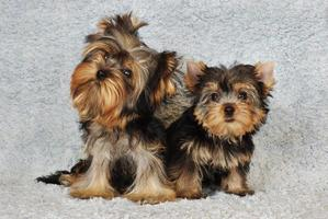 twee puppy's yorkshire terrier foto