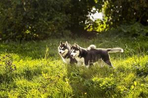 twee husky pup staan in het gras