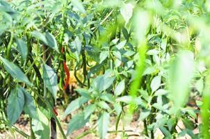 groene chili peper