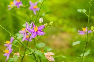 aubergine bloem foto