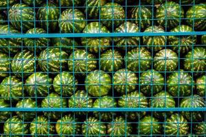 groene watermeloenen in kooi foto
