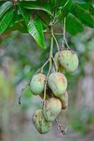 stikken anan mango's opknoping op boom foto
