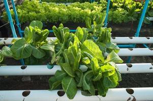 groene biologische, teelt hydrocultuur groente in boerderij foto