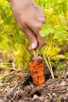 hand die wortel in moestuin trekt foto
