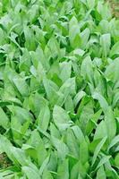 blad sla plant foto