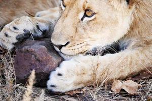 leeuw spelen met rock foto