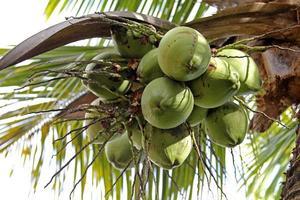 kokosnootboom foto
