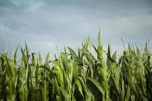 maïsveld, klaar voor de oogst foto