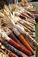 gedroogde maïs in de oogsttijd foto