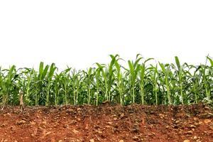 zaailing maïsveld op rode lateritische bodem doorsnede foto