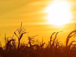 maïsveld bij de gele zonsondergang