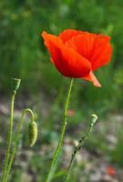 rode bloem van wilde papaver op weide foto