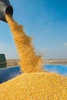 maïs oogst foto