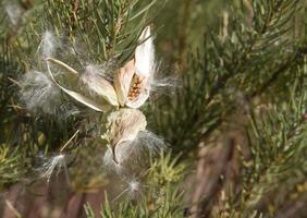 woestijn kroontjeskruid foto