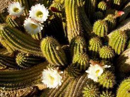 wit bloeiende pipestone cactus in tucson az foto