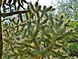 cholla cactus springen foto
