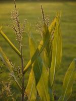 jonge maïsplant foto