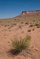 yucca in de woestijn foto