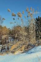 pampagrassen foto