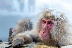 sneeuw aap makaak onsen foto