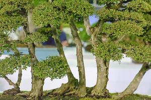 bonsai foto