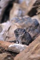 pika op een stapel rotsen (ochotona princeps) foto