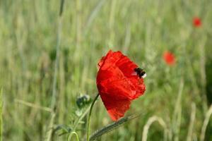 landschap - rode papavers foto