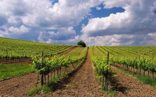 wijngaard landschap foto