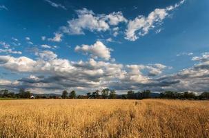 de tarwe, landschap foto