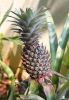 ananas groeit op foto